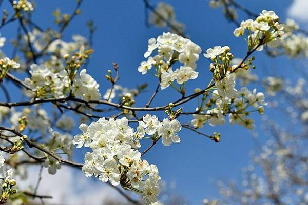 梨树几月份开花 梨花的含义及作用