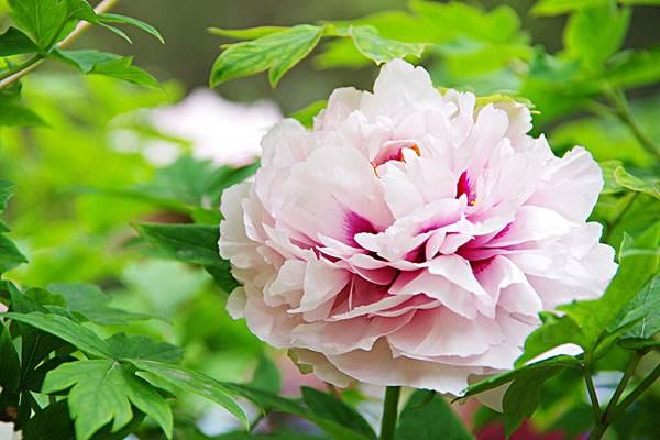 牡丹花什么颜色最贵 牡丹的特点和花语