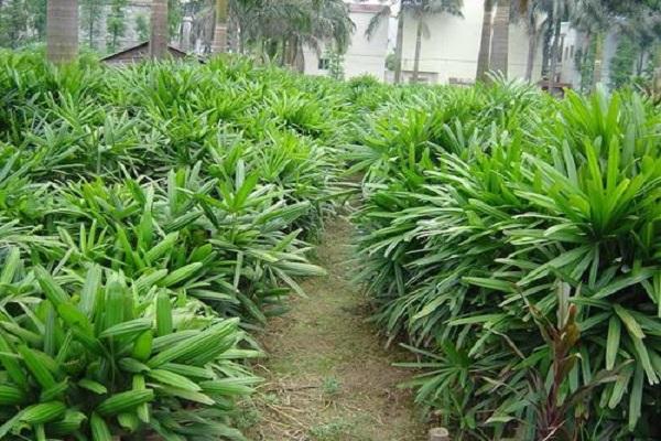 观音棕竹和棕竹的区别是什么