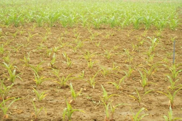 碱地用什么肥料去碱 碱地适合种什么