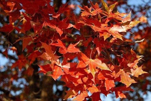 一亩种植多少五角枫 五角枫和元宝枫一样吗