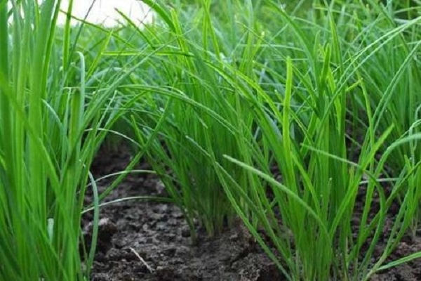 老韭菜几月移栽 韭菜用什么肥料好