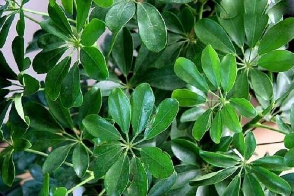 七片叶子的植物名字大全