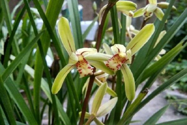 兰花的常见品种有哪些