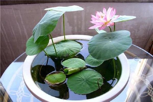一棵碗莲能活多久 怎样种植碗莲