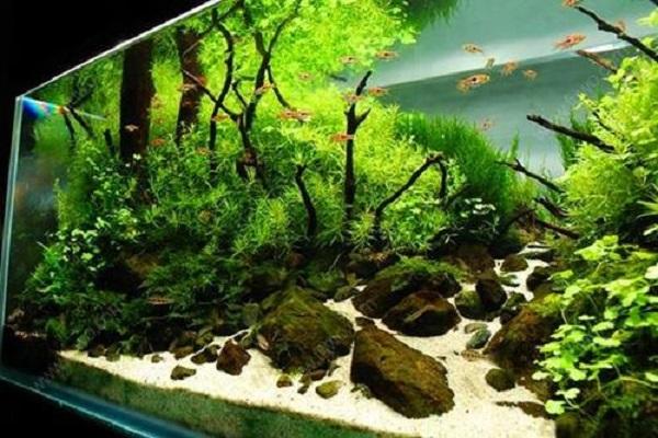 鱼缸里养什么植物好 有哪些好处