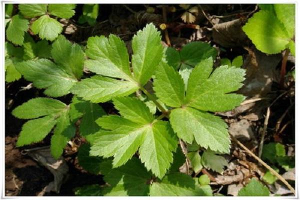 明日叶是什么植物 养护注意事项有哪些
