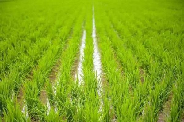 水稻是水生植物吗 生长过程整理