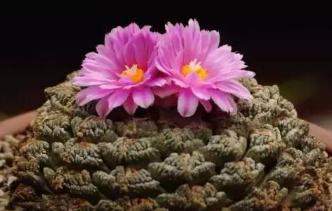 龟甲牡丹的养殖方法 龟甲牡丹怎么养才能开花