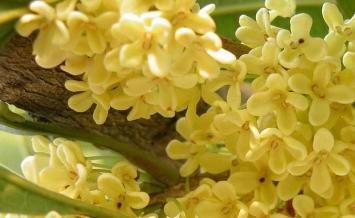 桂花用什么盆,桂花适合用什么样的花盆