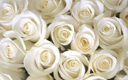 白玫瑰不能随便送人 白玫瑰代表了什么