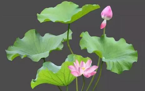碗莲可以一直水养吗 碗莲怎么养能开花