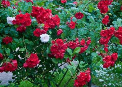 红木香花怎样修剪 红木香花修剪方法总结