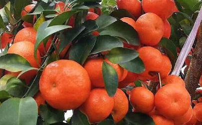 金秋砂糖橘这个品种怎样 好不好种