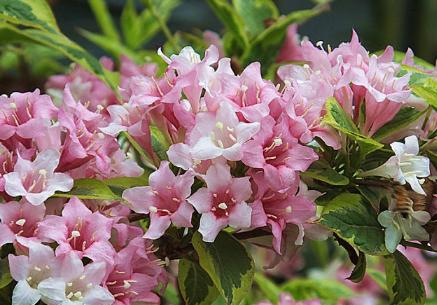 锦带花的养殖方法 锦带花怎么进行水肥管理