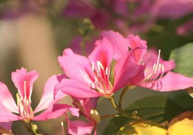 紫荆花的育苗方法 栽培技术总结