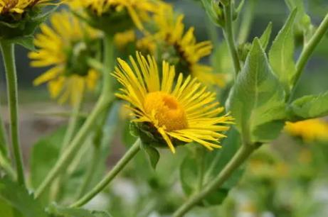 土木香的人工种植技术 土木香养殖方法总结