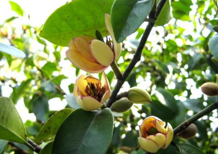 含笑花的日常养护要点 含笑花养殖需要注意什么