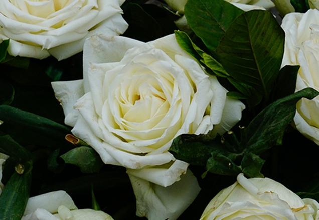 为什么白玫瑰不能随便送人 有什么寓意
