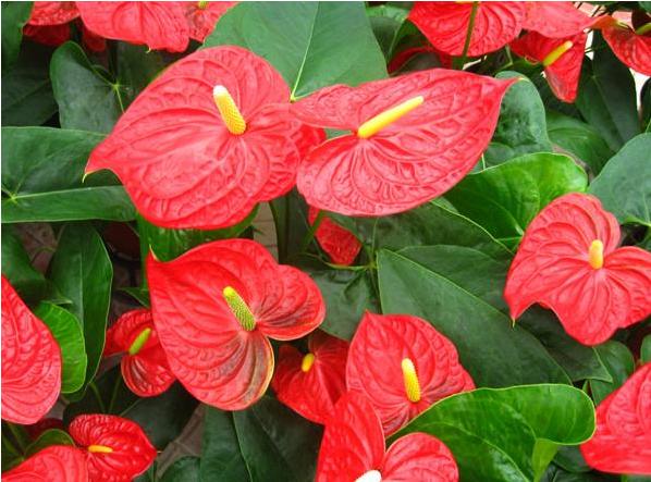 哪八种招财花比较旺家 它们的风水意义是什么