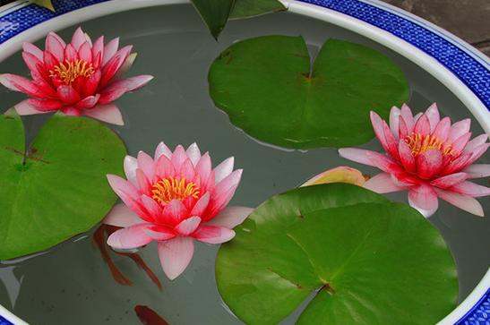 碗莲可以一直水养吗 如何养殖能开花