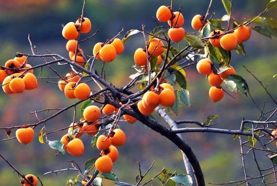 为什么说柿子树是凶树 种到院子里有什么禁忌