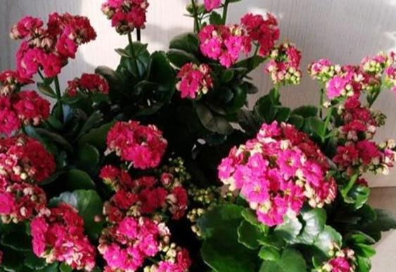 长寿花为什么致癌 长寿花有毒吗