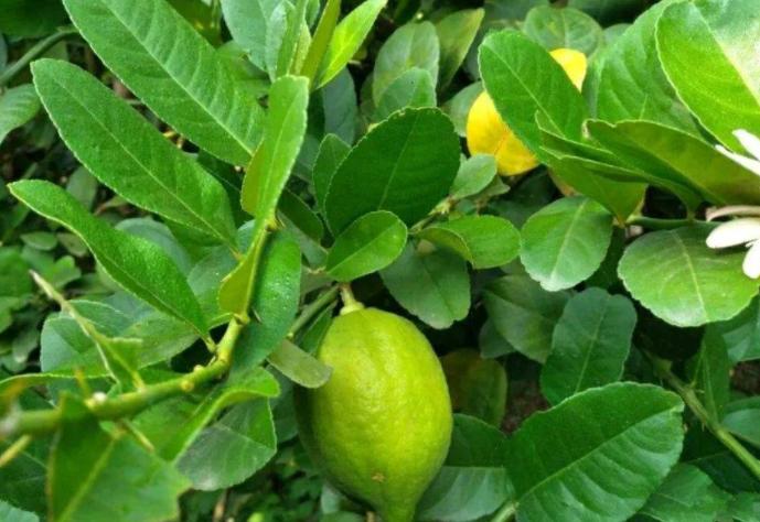 香水柠檬和尤克力柠檬的区别是什么 柠檬有哪些种类