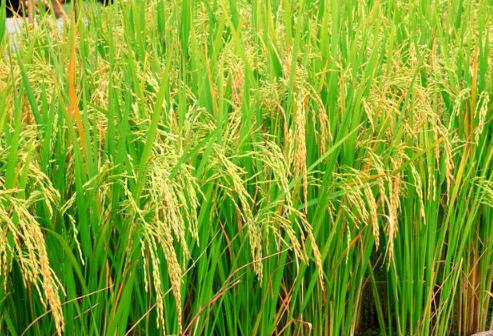 温宿县水稻拔节期至抽穗期 水稻田间管理措施总结