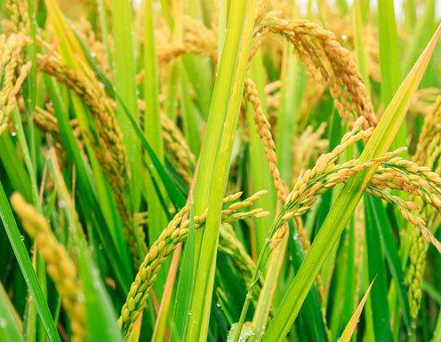 北方地区寒地水稻育苗方法是什么 如何育苗能高产