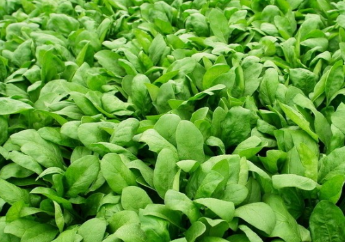 冻藏菠菜的栽培 冻藏技术有什么