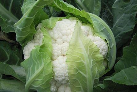 青花菜空茎有办法防治吗 怎么解决花椰菜病害